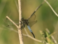 blacktailed skimmer